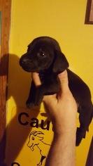 Dachshund Puppy For Sale in HARRIMAN, TN