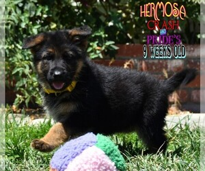 German Shepherd Dog Puppy for Sale in MURRIETA, California USA