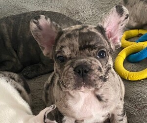 French Bulldog Puppy for sale in ARBUTUS, MD, USA