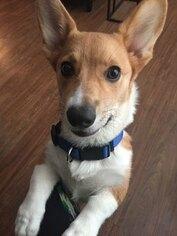 Pembroke Welsh Corgi Puppy For Sale in BOROUGH, CT, USA