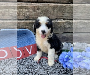 Miniature Bernedoodle Puppy for Sale in MC DONOUGH, Georgia USA