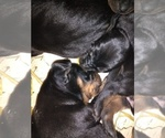 Small #2 Black and Tan Coonhound