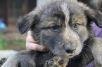 Wolf Hybrid Puppy For Sale in YELM, WA, USA