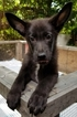 Male Black Purebred German Shepherd Puppy