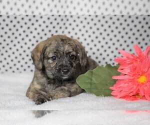Beabull-Poodle (Miniature) Mix Puppy for sale in FREDERICKSBG, OH, USA