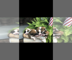Boxer Puppy for Sale in LAMAR, Missouri USA