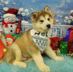 Alaskan Malamute Puppy For Sale in CHICAGO, IL