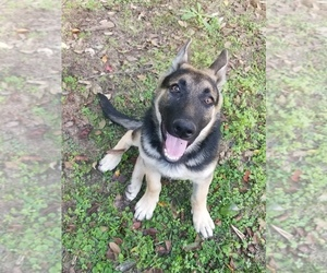 German Shepherd Dog Puppy for sale in AUGUSTA, GA, USA