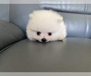 Pomeranian Puppy for sale in SANTA CLARA, CA, USA