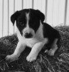 PRINCE   ABCA Registered Border Collie