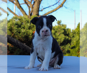 Boston Terrier Puppy for sale in GAP, PA, USA