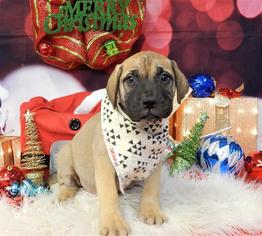 Bullmastiff Puppy For Sale in CHICAGO, IL, USA