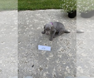 Weimaraner Dog for Adoption in PESHTIGO, Wisconsin USA