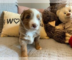 Miniature Australian Shepherd Puppy for Sale in DEL CITY, Oklahoma USA