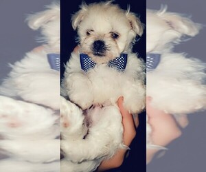 Maltese Puppy for sale in DURHAM, NC, USA