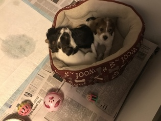 Poogle Puppy For Sale in BRANFORD, CT, USA