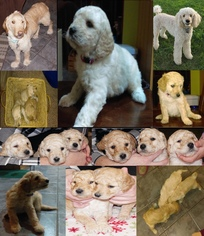 Goldendoodle Puppy For Sale in CADILLAC, MI