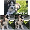Siberian Husky Puppy For Sale in SAN DIEGO, CA
