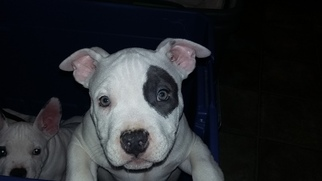 American Bully Mikelands  Puppy For Sale in BOAZ, AL