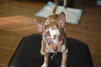 Chihuahua Puppy For Sale in CARLETON, MI, USA