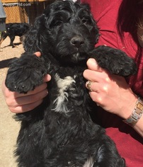View Ad Bernedoodle Puppy For Sale Near Colorado Denver