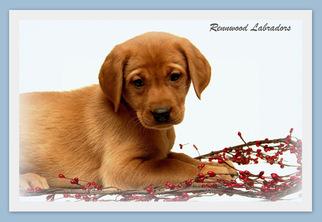 Labrador Retriever Puppy For Sale in BIG LAKE, MN, USA