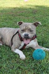 Ike - English Bulldog / American Staffordshire Terrier / Mixed (short coat) Dog For Adoption