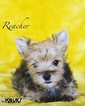 Yorkshire Terrier Puppy For Sale in ROANOKE, TX