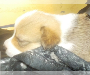 Pembroke Welsh Corgi Puppy for Sale in CIMARRON, New Mexico USA