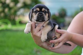View Ad Puggle Puppy For Sale Near Minnesota Shakopee Usa Adn 16905