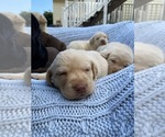 Small Photo #9 Labrador Retriever Puppy For Sale in ARLINGTON, VA, USA