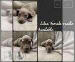 Puppy 2 Great Dane