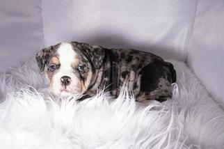 Bulldog Puppy For Sale in ARLINGTON, TX, USA