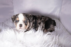 Bulldog Puppy For Sale in ARLINGTON, TX, USA