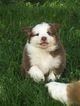 Australian Shepherd Puppy For Sale in DANVILLE, PA, USA
