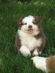 Australian Shepherd Puppy For Sale in DANVILLE, PA,
