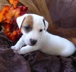 Jack Russell Terrier Puppy For Sale in NORTH ANDOVER, MA