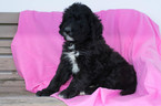 Bernedoodle Puppy For Sale in KENSINGTON, OH, USA