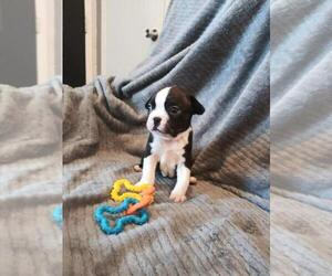 Boston Terrier Puppy for sale in VANCOUVER, WA, USA