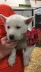 Siberian Husky Puppy For Sale in SHELBYVILLE, IN, USA