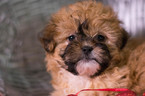 Shih-Poo Puppy For Sale in KENT, OH, USA