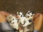 Siberian Husky Puppy For Sale in KANSAS CITY, MO,