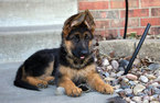 German Shepherd Dog Puppy For Sale in KENDALL, FL, USA