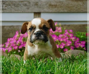 Beabull-English Bulldog Mix Puppy for Sale in NAPPANEE, Indiana USA