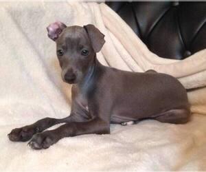 Italian Greyhound Puppy for sale in DAYTONA BEACH, FL, USA