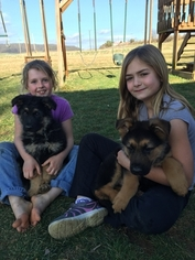 German Shepherd Dog Puppy for sale in LOYSVILLE, PA, USA
