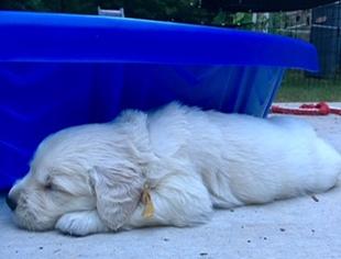 Golden Retriever Puppy For Sale in BUFORD, GA