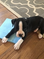 Boxer Puppy For Sale in CLARKSVILLE, TN, USA