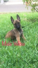 Belgian Malinois Puppy For Sale in PALMHURST, TX
