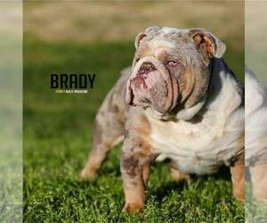 Father of the English Bulldog puppies born on 10/30/2020
